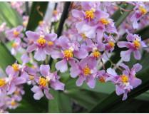 Oncidium ornithorhynchum (Jungpfl.)