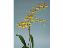 Oncidium Sweet Sugar 2