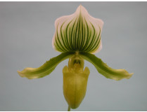 Paphiopedilum Maudianum x (Paph. holdeni x Paph. supersuk)