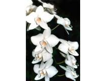 Phalaenopsis amabilis 'aphrodite'