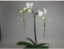 Phalaenopsis Orchid Tree