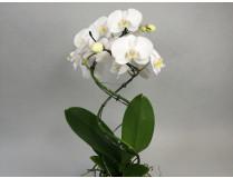 Phalaenopsis Double Helix 'White'