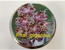 Phalaenopsis gigantea (im sterilen Glas)