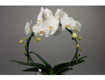 Phalaenopsis White Mirror (inkl. Übertopf)