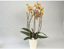 Präsentpflanze PG3, knospig-angeblüht (inkl. Übertopf)