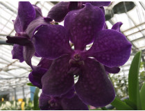 Vanda Deep Purple