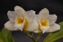 Bifrenaria harrisoniae 'alba'