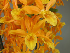 Dendrobium Stardust 'Firebird' (2 Rispen)