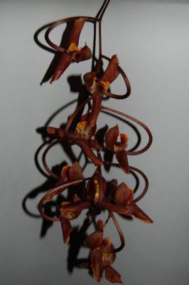 Gongora galeata