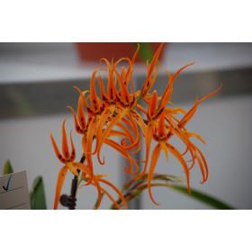 Brassada Orange Delight 'Starbek Orange'