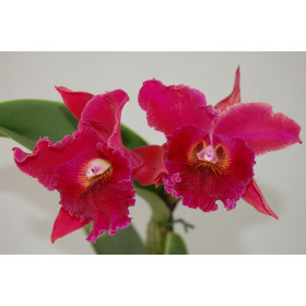 Brassolaeliocattleya Chia Lin 'New City' AM/AOS