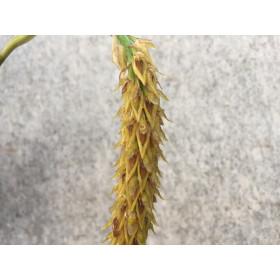 Bulbophyllum rufinum