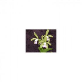 Cattleya leopoldii 'semi-alba'