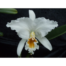 Cattleya percivalliana 'alba'