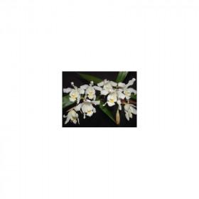 Coelogyne cristata 'lemoniana'