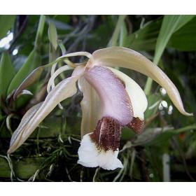 Coelogyne speciosa x usitana