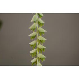 Dendrochilum latifolium