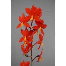 Encyclia vitellina (Jgpfl.)
