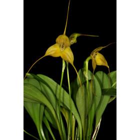 Masdevallia triangularis
