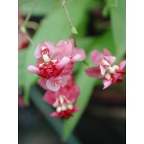 Oncidium Tiny Twinkle 'Red Fantasy'