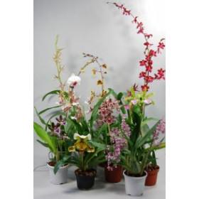 Orchideen-Schnäppchen (10 knospige/blühende Pfl.)