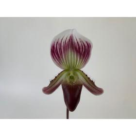 Paphiopedilum callosum 'sublaeve'