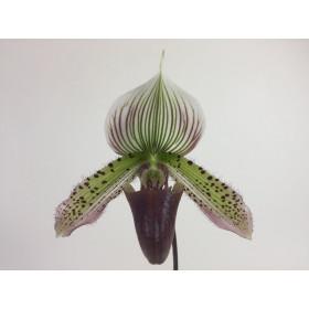 Paphiopedilum callosum 'Big' x sukhakulii (1 Stiel)