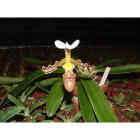 Paphiopedilum tranlineanum