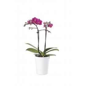 Phalaenopsis Office Orchid, violett (inkl. Übertopf)