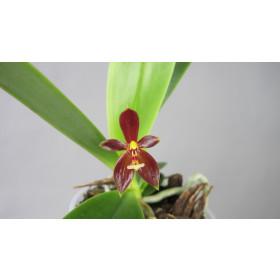 Phalaenopsis cornu-cervi 'thalebanii'