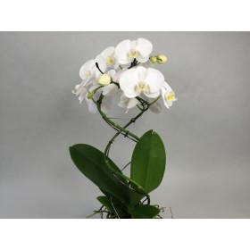 Phalaenopsis Twister 'White' (2 Rispen)