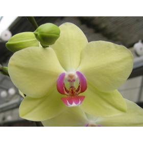 Phalaenopsis Jamaica