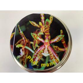 Phalaenopsis mannii (im sterilen Glas)