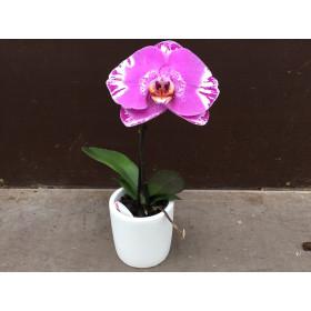 Phalaenopsis Big Singolo 'Victorio' (inkl. Übertopf)