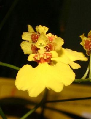Oncidium flexuosum