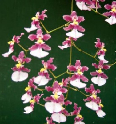 Oncidium John Louis Shirrah 'Gamma'