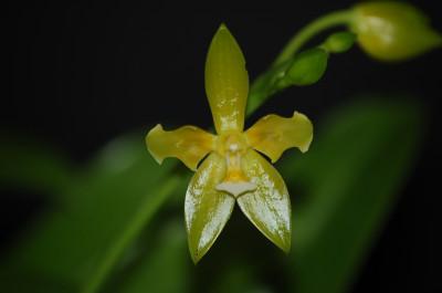 Phalaenopsis cornu-cervi 'alba'