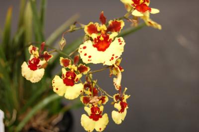 Tolumnia variegata II