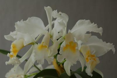 Cattleya mossiae 'wagnerii'