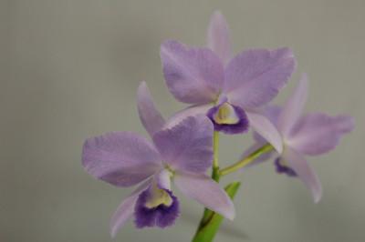 Cattleya Portia 'coerulea'