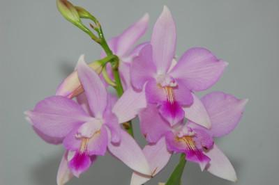 Cattleytonia Hybride