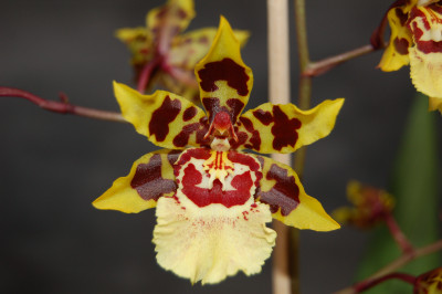 Colmanara Wildcat 'White lip'