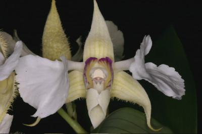 Dendrobium eximium