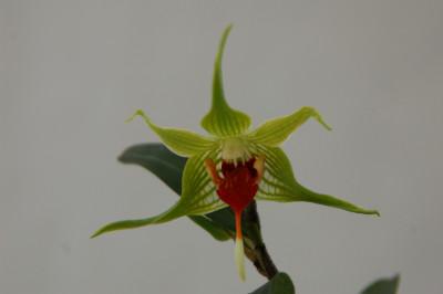 Dendrobium tobaense
