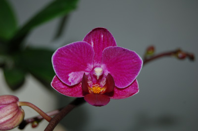 Doritaenopsis Sogo Berry