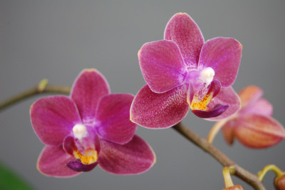 Doritaenopsis Sogo Julice