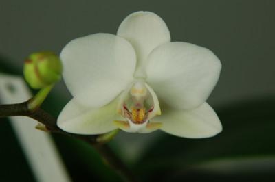 Doritaenopsis Sogo Venis