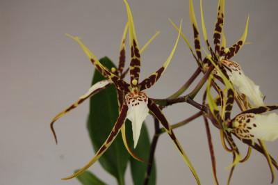 Miltassia Toscana (2-3 Blütenrispen)