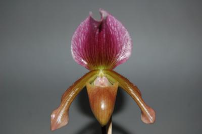 Paphiopedilum charlesworthii x Maudiae coloratum