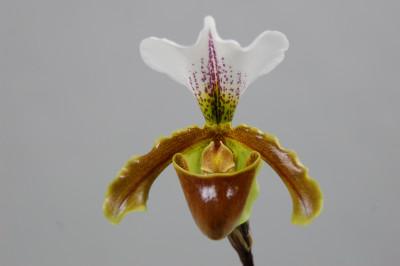 Paphiopedilum Leeanum 'sitta'
